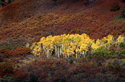 Yellow Leaves Framed Prints - Aspen Grove Framed Print by Rich Franco