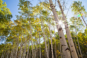 Crested Butte Framed Prints - Aspen Grove Sunburst Framed Print by Adam Pender