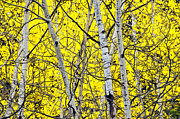 Colorado Mountain Greeting Cards Prints - Aspen Print by James Steele