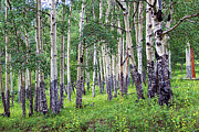 Colorado Mountain Posters Prints - Aspen Print by Jon Burch Photography