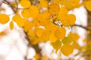 Images Lightning Prints - Aspen Leaves Print by James Bo Insogna