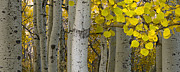Tree Lines Photo Posters - Aspen Panorama Poster by Andrew Soundarajan