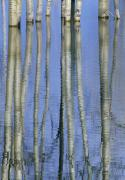 Floods Posters - Aspen Poplar Trees Reflected In Spring Poster by Darwin Wiggett