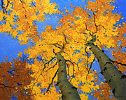 Foliage Paintings - Aspen Sky High  by Gary Kim