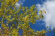 Fall Photos Prints - Aspen Sky Print by Randy Bodkins