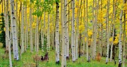 Aspen Trees Framed Prints - Aspen Slope Framed Print by Ellen Lacey