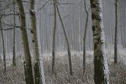 Precipitation Metal Prints - Aspen Stand In A Snowstorm Metal Print by Raymond Gehman