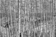 Aspens Metal Prints - Aspen Stand in Black and White Metal Print by Kevin Munro
