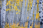 Fall Leaves Framed Prints - Aspen Treasure Framed Print by Carolyn Rauh
