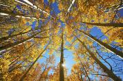 Yellow Line Framed Prints - Aspen Tree Canopy 2 Framed Print by Ron Dahlquist - Printscapes