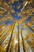 Steamboat Springs Western Framed Prints - Aspen Tree Canopy 3 Framed Print by Ron Dahlquist - Printscapes