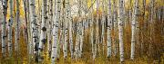 Deciduous Posters - Aspen Tree Grove Poster by Ron Dahlquist - Printscapes