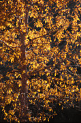 Janeen Wassink Posters - Aspen Tree in Autumn Poster by Janeen Wassink Searles
