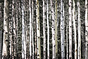 Bark Metal Prints - Aspen tree trunks Metal Print by Elena Elisseeva