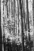 Rustic Cabin Prints - Aspen Trees Black and White Print by The Forests Edge Photography - Diane Sandoval