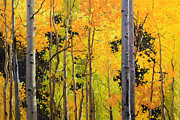 Vibrant Color Prints Paintings - Aspen Trees by Gary Kim