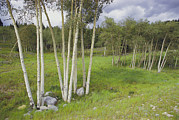 Poplar Forest Photo Metal Prints - Aspen Trees, Shoshone National Forest Metal Print by Raymond Gehman