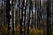 Mountain Photos - Aspen Trunks 3 by Larry Ricker
