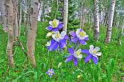 Scott Mahon - Aspens and Columbines