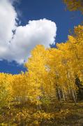 Location Art Metal Prints - Aspens and Sky Metal Print by Ron Dahlquist - Printscapes