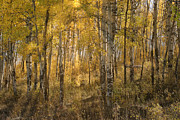 Aspens At Sunrise - Grand Tetons Print by Sandra Bronstein