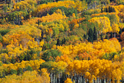 Poplar Forest Photo Metal Prints - Aspens In Autumn, British Columbia Metal Print by Kaj R. Svensson