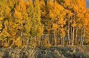 Aspens In Autumn Print by Stephen  Vecchiotti