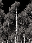 Joshua House - Aspens in Black and White