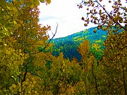 Yellows Drawings Prints - Aspens in fall Print by Howard Perry