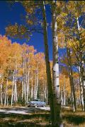 North Rim Framed Prints - Aspens In Full Color Near The Grand Framed Print by Justin Locke