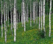 Mountains Photos - Aspens in Spring by Leland Howard