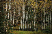 Wolf Creek Metal Prints - Aspens in the Fall Metal Print by Timothy Johnson