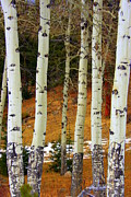 Mountain Top Framed Prints - Aspens of white Framed Print by Julie Lueders