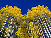 Pauls Colorado Photography Prints - Aspens Pointing to the Big Blue Print by Paul Gana