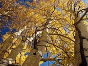 Aspen Fall Colors Photos - Aspens Reaching  by Scott McGuire
