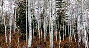 Quaking Aspen Photos - Aspens by Robert Bales