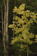 Cypress Hills Framed Prints - Aspens Stand Tall In This Woodlands Framed Print by Raymond Gehman