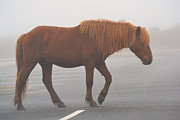 Kelly Photo Prints - Assateague Pony Print by Kelly Reber