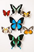 Brightly Framed Prints - Assorted butterflies Framed Print by Garry Gay
