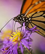 Aster Photos - Aster and the Butterfly by Vicki Jauron