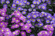 Aster  Framed Prints - Aster Aster Sp Flowers Framed Print by VisionsPictures