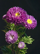 Aster  Photo Framed Prints - Aster Framed Print by Daniel Csoka