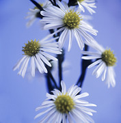 Aster  Photo Framed Prints - Aster Flowers (aster Sp.) Framed Print by Cristina Pedrazzini