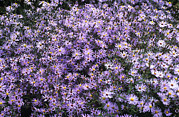 Aster Photos - Aster Flowers (aster Turbinellus) by Adrian Thomas