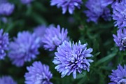 Aster  Originals - Aster in Purple by Rhonda Humphreys