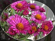 Aster  Digital Art Framed Prints - Aster named September Ruby Framed Print by J McCombie