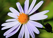 Violet Prints - Aster  Print by Scott Hovind