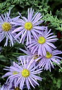 Aster  Framed Prints - Aster X Frikartii monch Framed Print by Archie Young