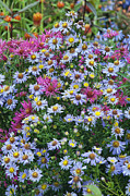 Aster  Framed Prints - Asters Framed Print by John Greim