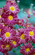 Splashy Photo Metal Prints - Asters Metal Print by Marcio Faustino
